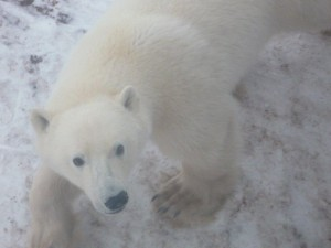 Manitoba polar bear3