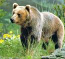 adult-grizzly-bear.jpg