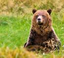Grizzly bear in meadow.jpg