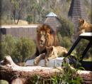 Lions at San Diego Wild Animal Park