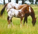 Horse and foal ID