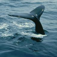 Whale tail Mass