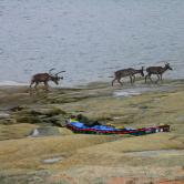 Caribou herd at George river