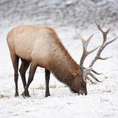 Yellowstone elk winter.jpg