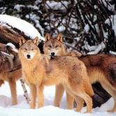 Yellowstone winter wolves.jpg